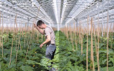 Première récolte de courgettes sous la serre « nouvelle génération » de Tenergie
